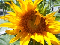 My Sunflowers Bloomed This Morning!